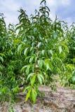 De vruchten van perzikbomen met fungiciden worden behandeld dat royalty-vrije stock foto