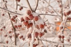 De vruchten van de de wintersibiria bevroren hoar vorst rode de sneeuwtakken van de appelenboom royalty-vrije stock afbeelding
