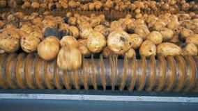 De vuile aardappels op een bewegende lijn, sluiten omhoog stock video