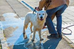De vuile die hond wordt na gang wordt schoongemaakt royalty-vrije stock foto's