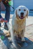 De vuile hond wordt gewassen stock afbeeldingen