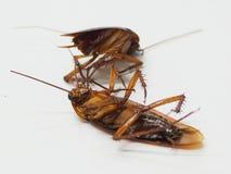 De vuile kakkerlakken hebben dode kiemen in hun handen royalty-vrije stock afbeeldingen