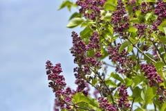De vulgaris blommorna för den lila syringaen mot en blå himmel arbeta i trädgården på våren Arkivbilder