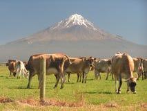 De Vulkaan en de koeien van Nieuw Zeeland stock afbeeldingen