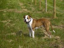 De waakzame Hond van het Landbouwbedrijf Stock Afbeeldingen
