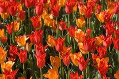 De waanzin van de tulp Royalty-vrije Stock Foto