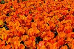 De waanzin van de tulp Royalty-vrije Stock Afbeelding