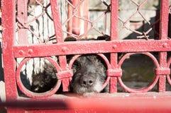 De wachthond ziet eruit Royalty-vrije Stock Foto