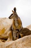 De Wallaby & Joey van de moeder Royalty-vrije Stock Afbeeldingen