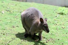 De wallaby met rode hals Royalty-vrije Stock Foto