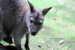 De wallaby met rode hals Royalty-vrije Stock Afbeeldingen