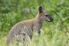 De Wallaby van Australië in groen gras stock foto