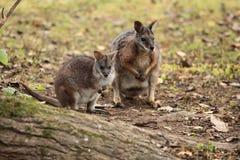 De wallaby van Dama Royalty-vrije Stock Foto