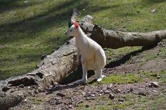 De wallaby van de albino Royalty-vrije Stock Afbeeldingen
