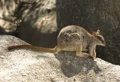 De wallaby van de Mareebarots, mitchell rivier, Steenhopen, Queensland, Australië Stock Afbeeldingen