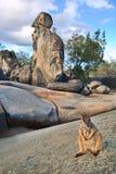 De wallaby van de rots Royalty-vrije Stock Fotografie