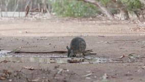 De wallaby van het kangoeroeeiland het drinken stock footage