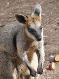 De wallaby van het moeras Stock Afbeelding