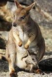 De wallabys of Petrogale Mareeba van de Mareebarots Royalty-vrije Stock Afbeeldingen