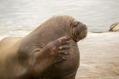 De walrus golft Royalty-vrije Stock Fotografie