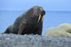 De walrus, Odobenus-rosmarus, stok uit van blauw water op kiezelsteenstrand, Svalbard, Noorwegen royalty-vrije stock afbeelding