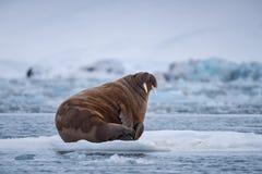 De walrus van de landschapsaard op een ijsijsschol van dag van de de winterzonneschijn van Spitsbergen Longyearbyen Svalbard de n stock afbeelding