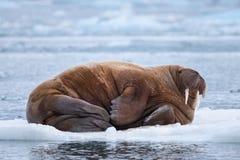 De walrus van de landschapsaard op een ijsijsschol van dag van de de winterzonneschijn van Spitsbergen Longyearbyen Svalbard de n royalty-vrije stock foto