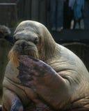 De walrussen van de zitting Royalty-vrije Stock Fotografie