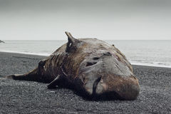 De walvis van Bottlenose (ampullatus Hyperoodon) Stock Foto