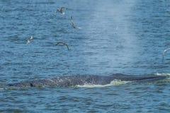 De walvis van Bryde ademhaling stock fotografie