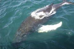 De Walvis van de baby stock fotografie