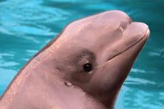 De walvis van de beloega Stock Afbeeldingen