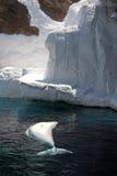 De walvis van de beloega in gevangenschap stock afbeeldingen