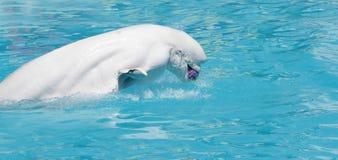 De walvis van de beloega (witte walvis) in water Royalty-vrije Stock Fotografie