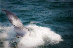 De Walvis van de gebochelde royalty-vrije stock foto