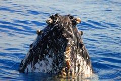De Walvis van de gebochelde Stock Afbeeldingen