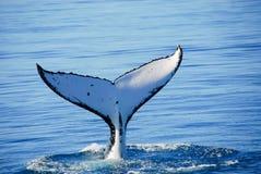 De Walvis van de gebochelde in Australië Royalty-vrije Stock Afbeelding