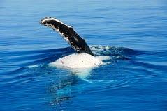 De Walvis van de gebochelde in Australië Royalty-vrije Stock Fotografie