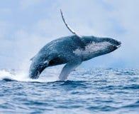 De walvis van de gebochelde het overtreden Royalty-vrije Stock Fotografie