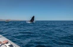 De walvis van de gebochelde het overtreden Royalty-vrije Stock Afbeelding