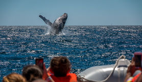 De walvis van de gebochelde het overtreden Royalty-vrije Stock Foto's