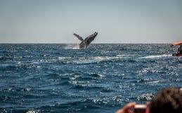 De walvis van de gebochelde het overtreden Royalty-vrije Stock Foto