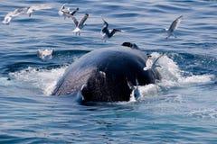 De walvis van de gebochelde/novae Megaptera Stock Afbeelding