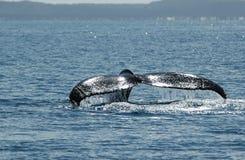 De walvis van de gebochelde (novaeangliae Megaptera), Australië Stock Afbeeldingen