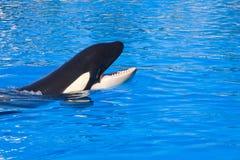 De walvis van de orka Stock Foto's