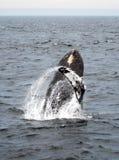 De walvis van de gebochelde het overtreden Stock Afbeeldingen