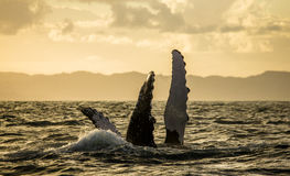 De walvis van het vingebochelde madagascar St Mary ` s Eiland stock afbeeldingen