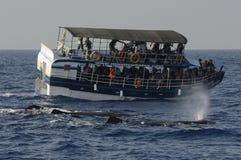 De Walvis van Srilankan het letten op boten Stock Afbeeldingen