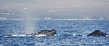 De walvis van twee Gebochelde Royalty-vrije Stock Foto
