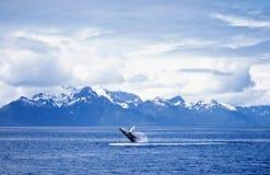 De walvisbreuk van de gebochelde royalty-vrije stock foto's
